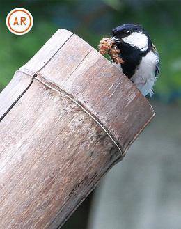エサの昆虫をヒナに運ぶ親鳥