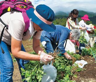 落花生を収穫する参加者