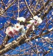 ひっそり咲く晩秋の桜