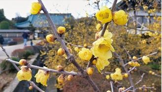 黄色い花をつけるロウバイ