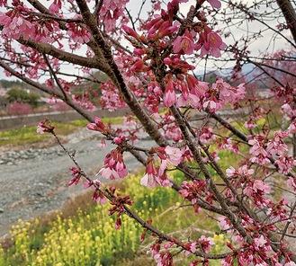 咲き始めたおかめ桜。菜の花との競演が楽しめる(2月29日撮影)