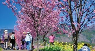 桜の下、歩道を散策する市民ら