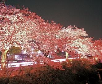 水無川沿いの夜桜(昨年)