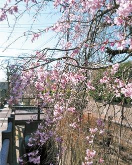花が咲き始めたしだれ桜