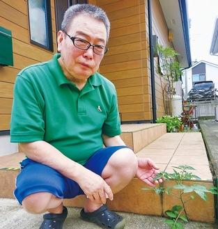 トマトの成長を見守る石原さん=6月26日