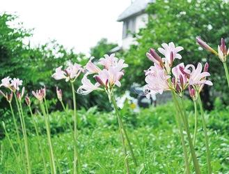 開花した夏水仙=7月24日撮影