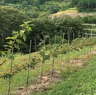 低樹化八重桜へ支援募る