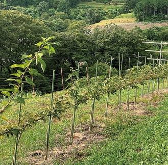 ジョイント栽培を行っている八重桜(柳川・8月31日撮影)