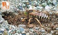 希少なハチ秦野で発見