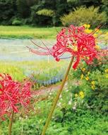 「情熱」の赤い彼岸花咲く
