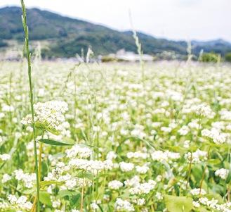 北小学校の東側にあるそば畑で咲いた花