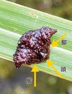 日本七大珍種蜘蛛を発見