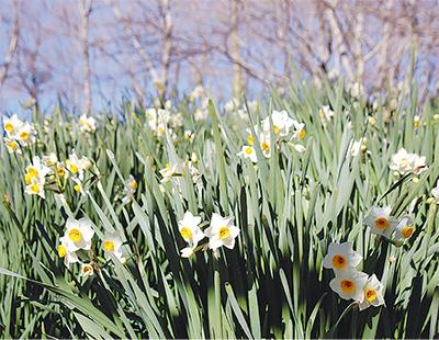 冬枯れの湖畔に咲く雪中花