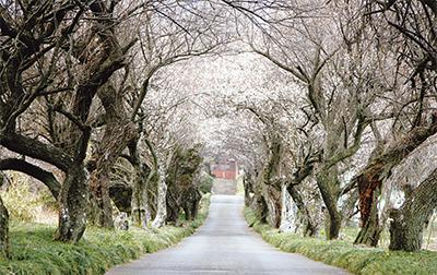 白梅のトンネルに春の訪れ