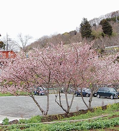 里山に春めき桜