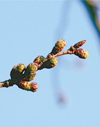 桜の開花状況 HPで