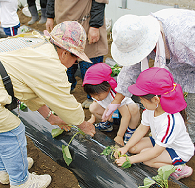 園児を招いてイモ植え