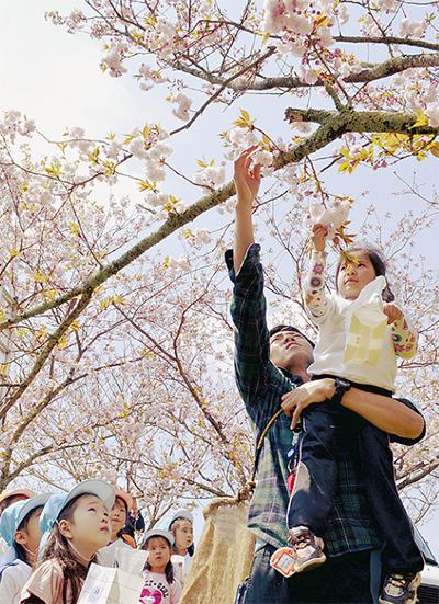 園児が八重桜摘み取り