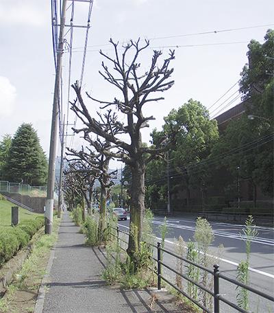 街路樹が立ち枯れか