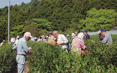 新茶の収穫始まる