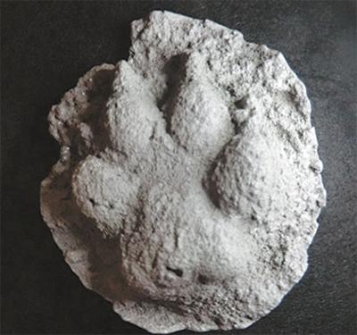 動物足型を石膏で型取り