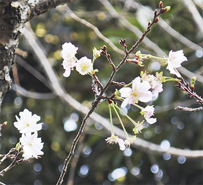 十月桜 秋空彩る