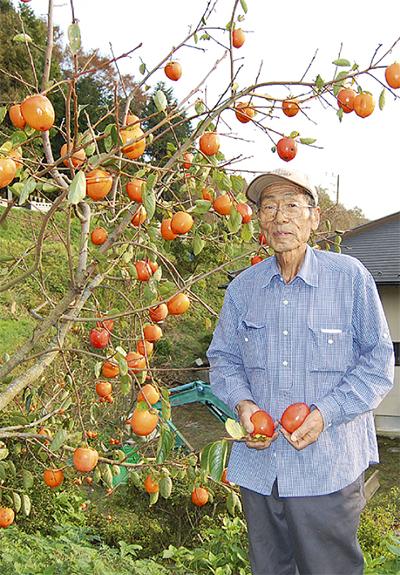 菩提の百目柿(ひゃくめがき)、収穫へ