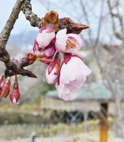 ほころび始めた春