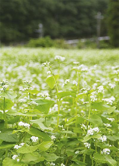 白く可憐なそばの花が満開
