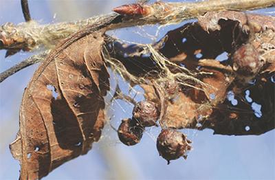 珍しいクモの卵発見