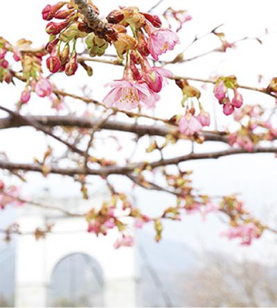 河津桜咲き出す