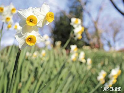 スイセン 早めの開花