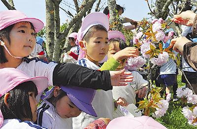 園児が八重桜の花摘み