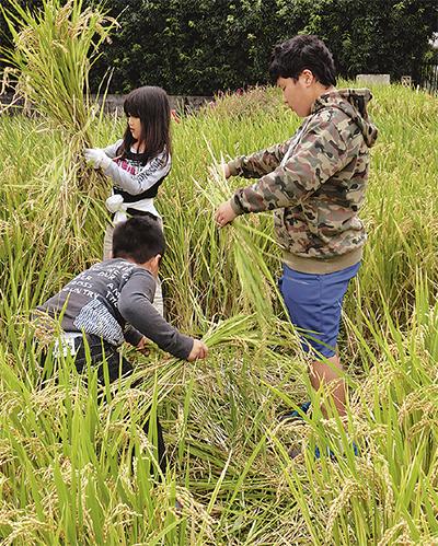 皆でもち米を収穫