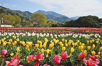 10万本のチューリップ開花