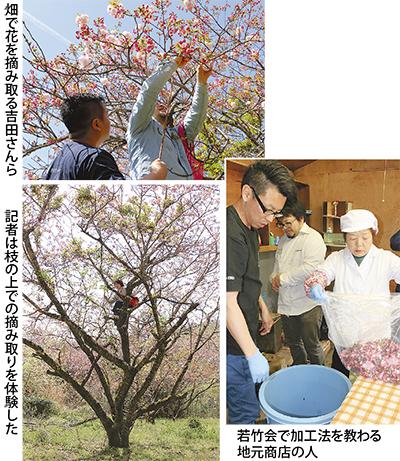 八重桜の文化、後世へ