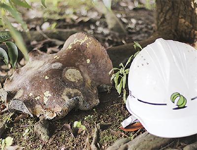 木陰に30cmのキノコ