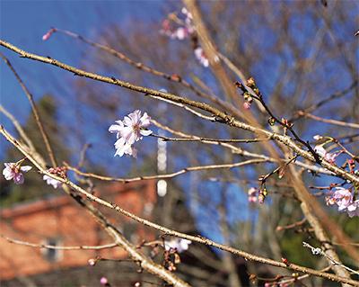 可憐な寒桜が咲く