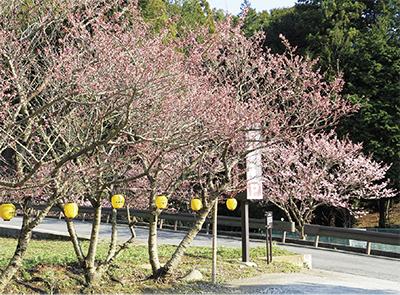70本の春めき桜が開花