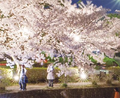 桜をライトアップ