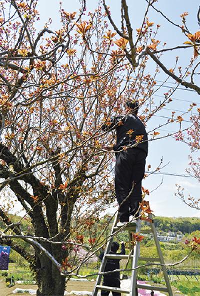 八重桜例年より早い摘み取り