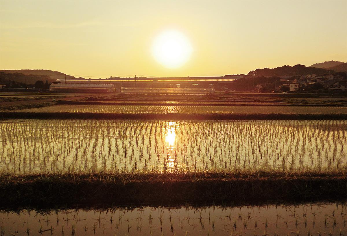 水田に輝く夕日