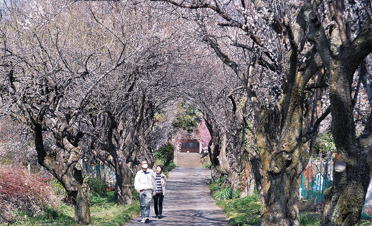 梅のトンネルが見ごろ