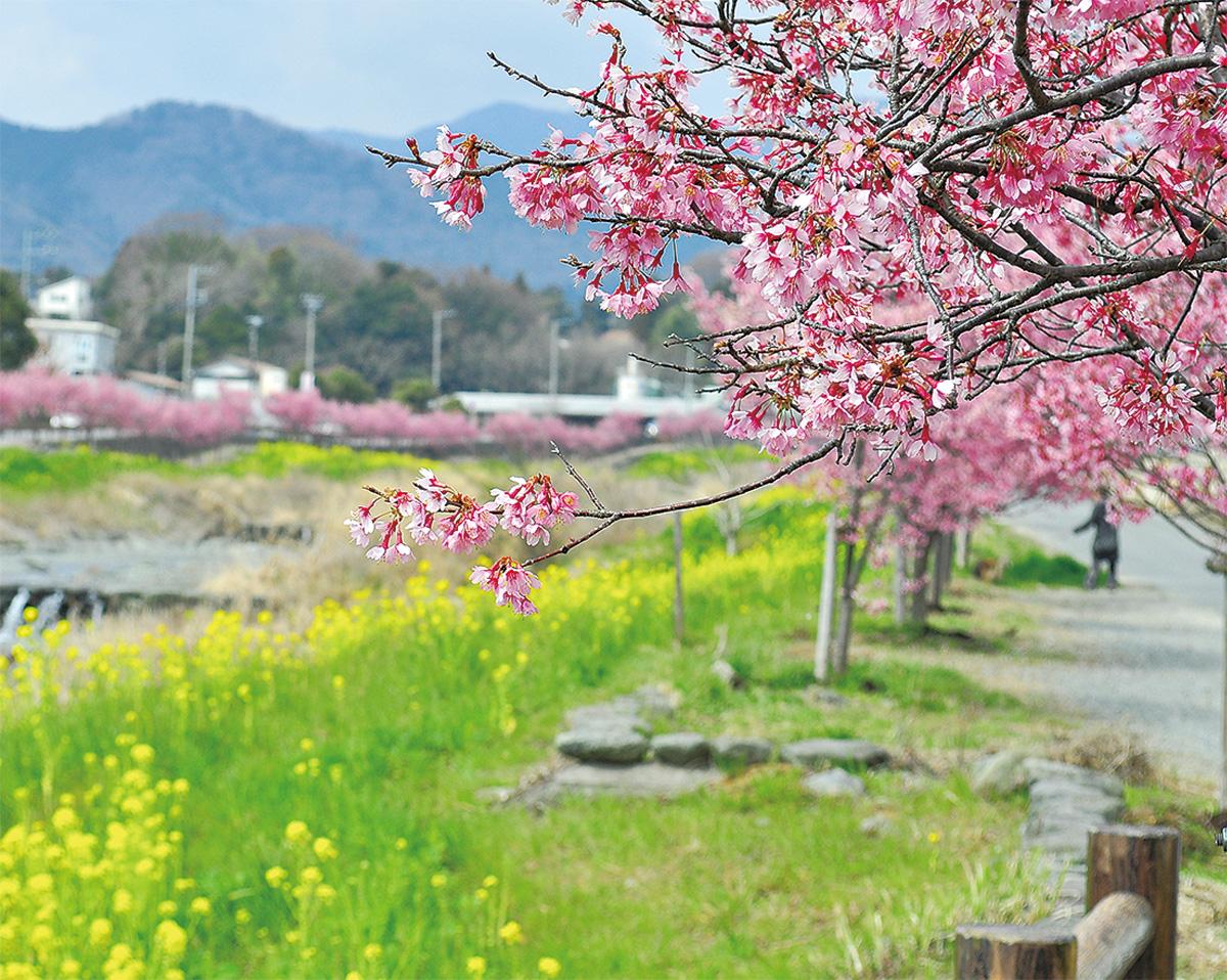 平和橋近くのおかめ桜と菜の花(3月16日撮影)
