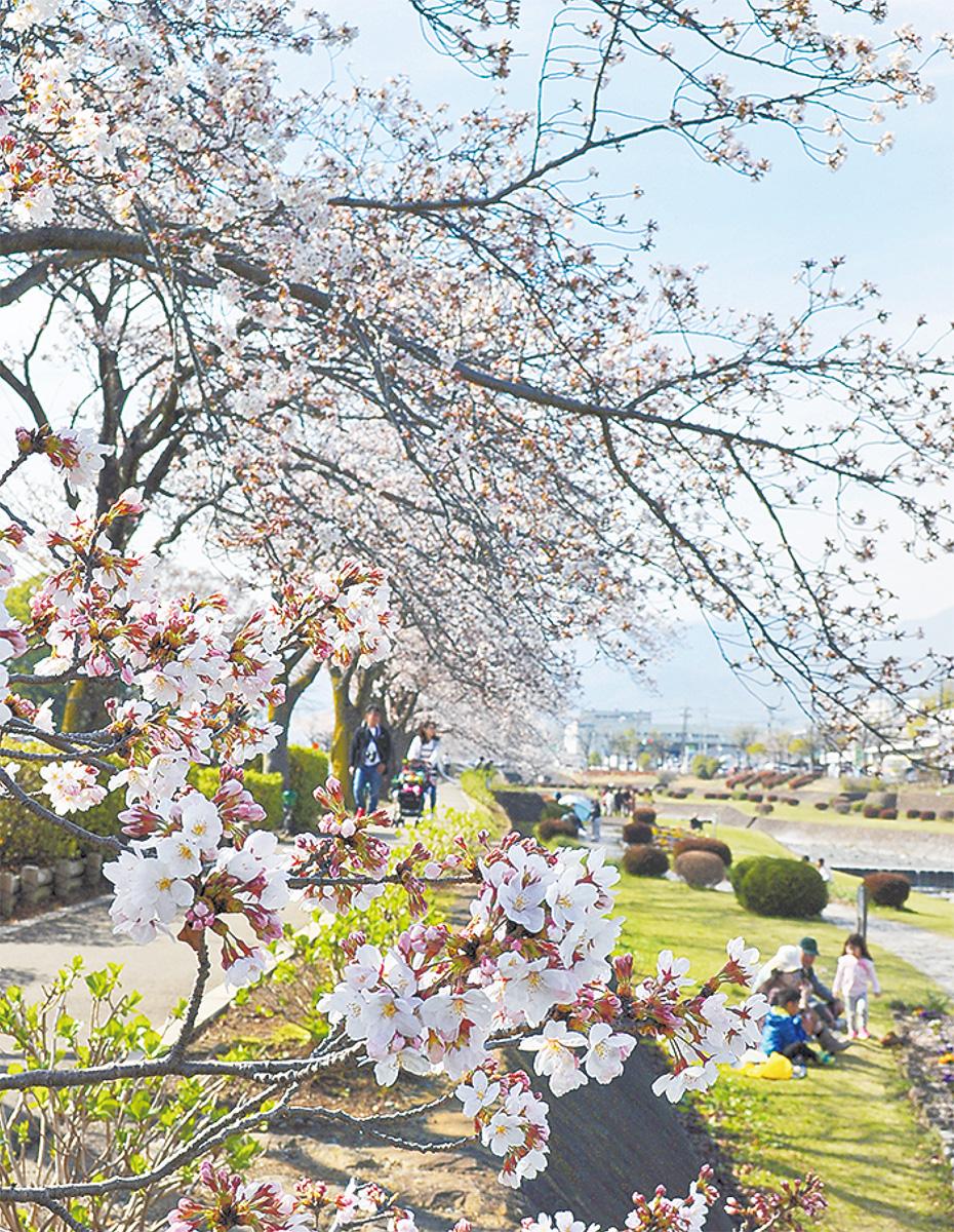 2会場で「はだの桜まつり」