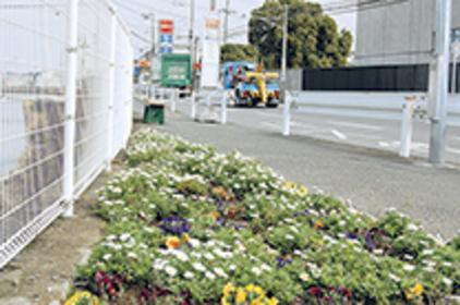 梶原の古舘橋バス停前に花畑が出現。市民ボランティア団体「鎌倉を美しくする会」によってパンジーやノースボールが植えられました。