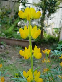 ルーピンの花 タケ  鹿児島県の実家で戴いたルーピンの種が厚木で見事花咲きました。種まき11月。
