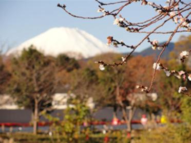恒例となったマラソン大会の風景です。富士山と寒桜と力走するランナ—。