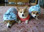 サスケ,アクア,レオ 横浜市瀬谷区 12歳,10歳,2歳  3匹ともお散歩大好き。手づくりのお洋服でルンルンです!